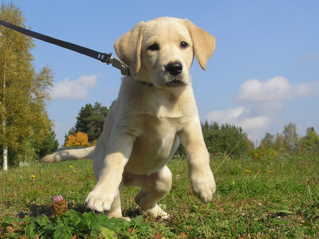 Puppy Leash Introduction
